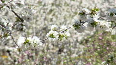 Cherry tree branches full of flowers move gently Stock Footage