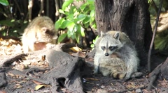 Raccoons in the Forest - stock footage