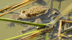 Stock Video Footage of Frogs during reproduction in a pond