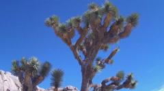 Stock Video Footage of Joshua Tree Branches Tilt Pan To Rocky Desert- JTNP
