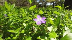 Periwinkle Flower Stock Footage