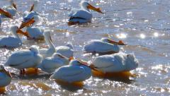 White Pelicans Floating, Grooming, Congregating Together on Shore of River - stock footage