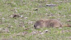 Groundhog feeding on the ground Stock Footage