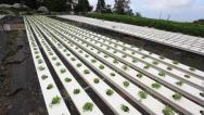 Stock Video Footage of Watercress Hydroponics Farm