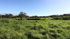 Maui Cattle Herd Running - stock footage