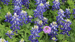 Field of blooming Bluebonnets in Texas Stock Footage