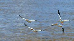 White Pelicans taking flight over turbulent muddy waters, slow motion Stock Footage