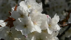 Cherry blossom close up detail Stock Footage