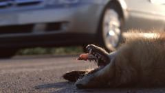 Road kill on the side of the road dead fox Stock Footage