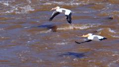 White Pelicans flying low over turbulent muddy waters, slow motion Stock Footage