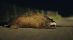 Road kill on the side of the road night dead badger Stock Footage