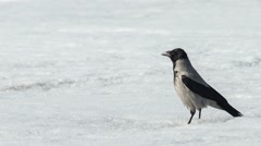 Grey crow on ice of the river Stock Footage