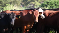 Stock Video Footage of Maui Cattle Herd