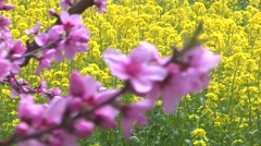 Rapeseed field and cherry blossoms - stock footage