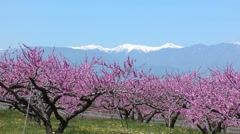 Peach blossoms, Yamanashi Prefecture, Japan Stock Footage