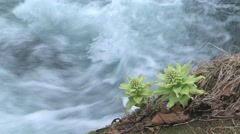 Bog Rhubarb by a water stream Stock Footage