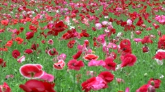 Poppy field, Hokkaido, Japan Stock Footage