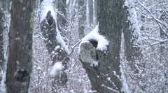 Ural Owl Stock Footage
