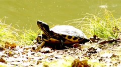 Coastal Cooter in Germany at a bank of a lake Stock Footage