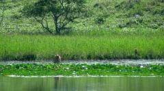 Hokkaido Sika Deer Stock Footage