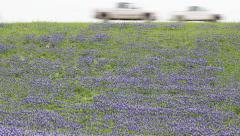 Field of blooming Bluebonnets in Texas with cars passing on highway Stock Footage