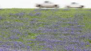 Stock Video Footage of Field of blooming Bluebonnets in Texas with cars passing on highway