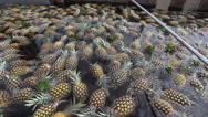 Stock Video Footage of Pineapples Washed & Bathed