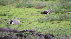 Canada Goose and American  Ibis Stock Footage