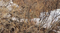 Hidden roe deer barks Stock Footage