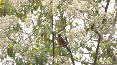 Olive Thrush on a tree - stock footage