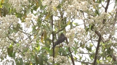 Olive Thrush on a tree Stock Footage