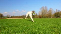 Whippet dog runs past camera and runs back with ball Arkistovideo