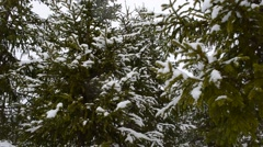 Heavy snowfall over spruce tree forest in early spring in northern norway Stock Footage