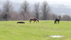 Three Horses in a Grass Field with Trees, One Lies Down - English Countryside Stock Footage