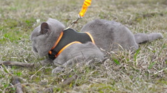 British gray cat for the first time on the street for a walk (2) - stock footage