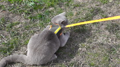 gray cat does not want to go for a walk - stock footage