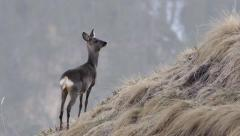 Beautiful shot of a roe deer in the Alps Stock Footage