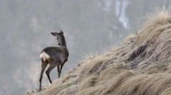 Beautiful shot of roe deer in mountain, HIGH QUALITY Stock Footage