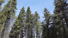 Top of pines in blue sky Stock Footage