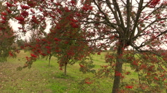 Rowan tree with red berry on autumn time Stock Footage