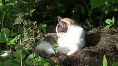 Zoom in of tabby cat licking in shade of blackberry bush Stock Footage
