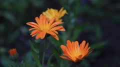 Calendula flowers, close-up view. Dark background. 2013 - stock footage