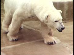 POLAR BEAR @ Melbourne Zoo Stock Footage