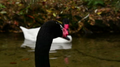 Black-necked swan Stock Footage