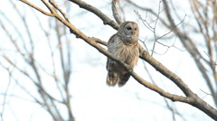 Barred owl hooting in a tree Stock Footage