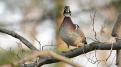 Wood duck perched in tree Stock Footage
