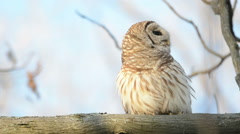 Barred owl hooting and calling Stock Footage