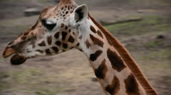 Short close up of the head of a giraffe walking past Stock Footage