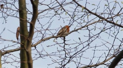 Beautiful Sound Red Robin Song Bird Singing Close Up Through Branches & Leaves - stock footage