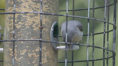 Tufted Titmouse Breaking Seed Stock Footage